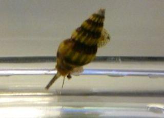 snegle i akvarium