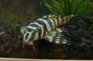 akvariefisk til salg